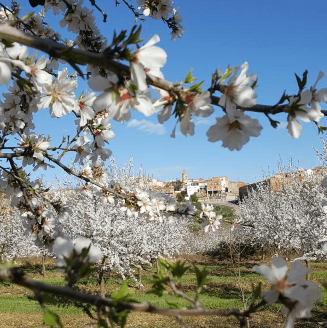 Almendros En Flor De La Primavera